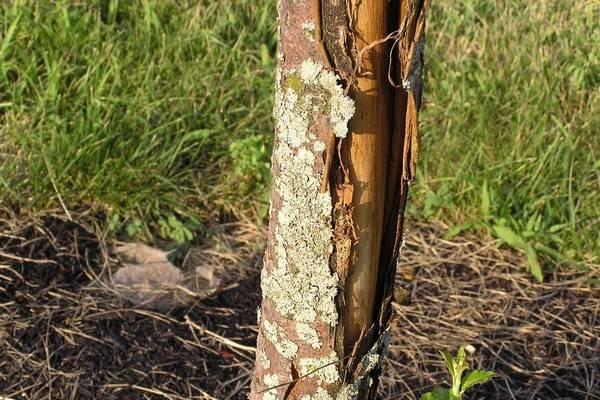 Почему лопается кора на молодых плодовых деревьях