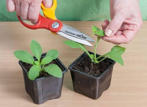 Ампельная петуния: выращивание из семян в домашних условиях, уход