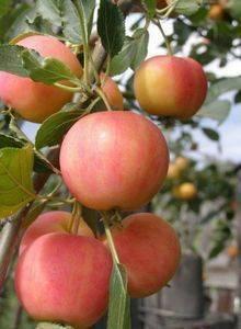 Яблоня белый налив: описание сорта, фото, отзывы садоводов, видео