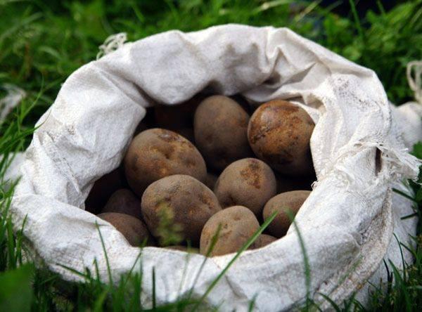 Через сколько всходит картофель после посадки