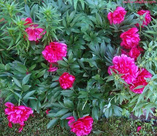 Почему не цветут пионы и что делать