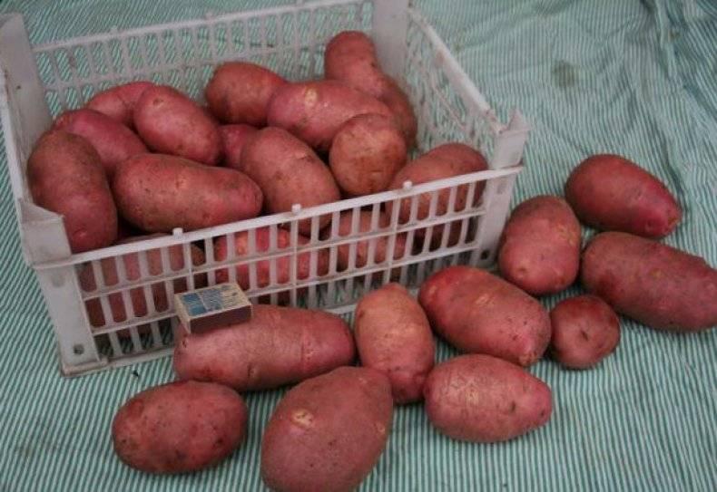 Топ-7 сортов картофеля, устойчивых к парше