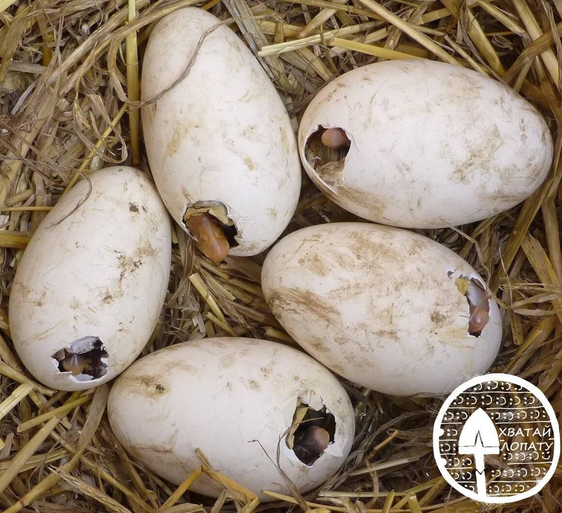 Инкубация гусиных яиц в домашних условиях: температура и влажность (таблица)