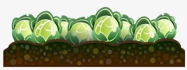 Высадка рассады капусты в открытый грунт по лунному календарю