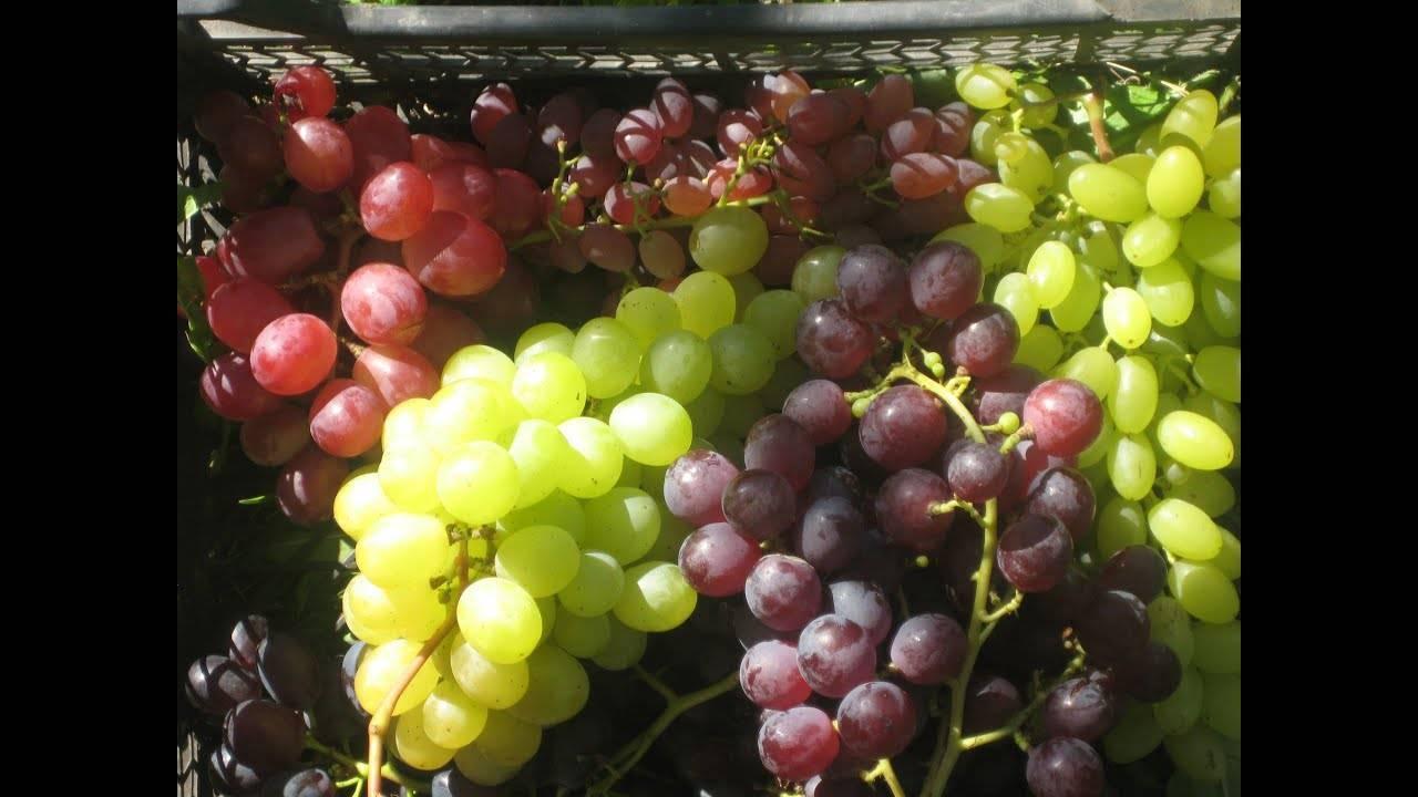 Посадка винограда в ленинградской области осенью. виноград в ленинградской области: посадка и уход