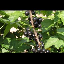 Чёрная смородина сокровище – крупные и вкусные ягоды на вашем участке