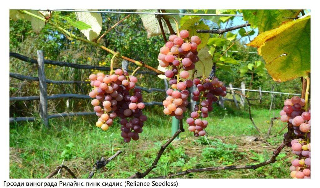 Спринг блаш — виноград