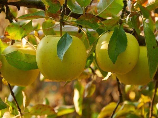 Декоративная яблоня роялти (royalty)