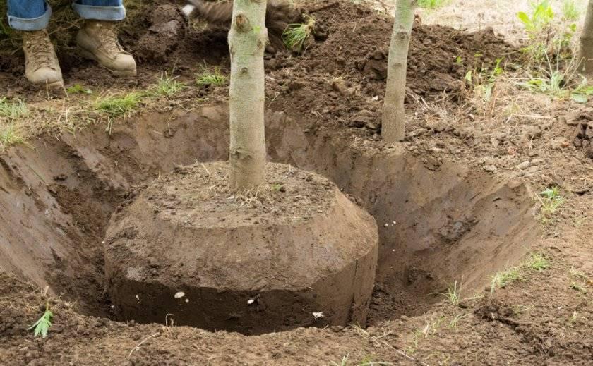 Пересадка пионов весной на другое место: когда и как правильно пересаживать на новое место? можно ли пересадить пионы до цветения?