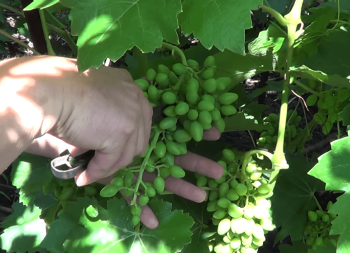 Красивый виноград с наливными ягодами - сорт софия