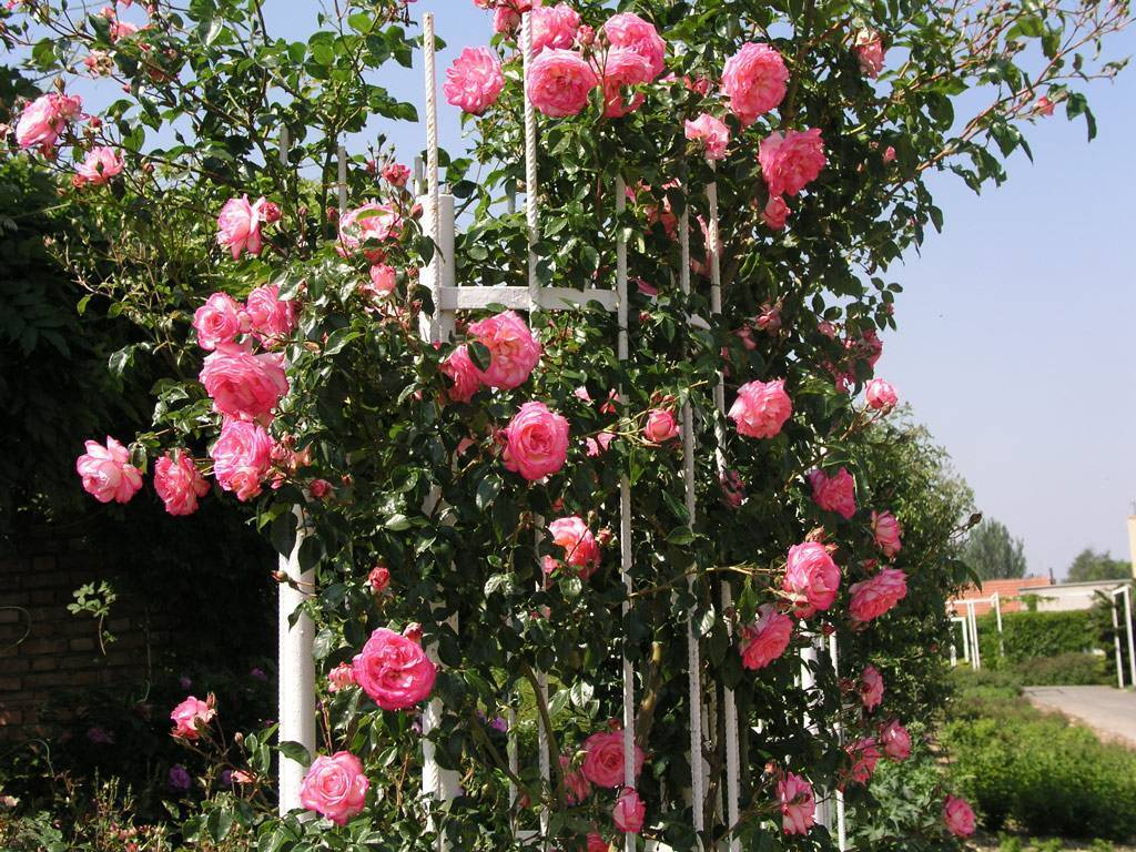 Розы посадка и уход в открытом грунте на урале