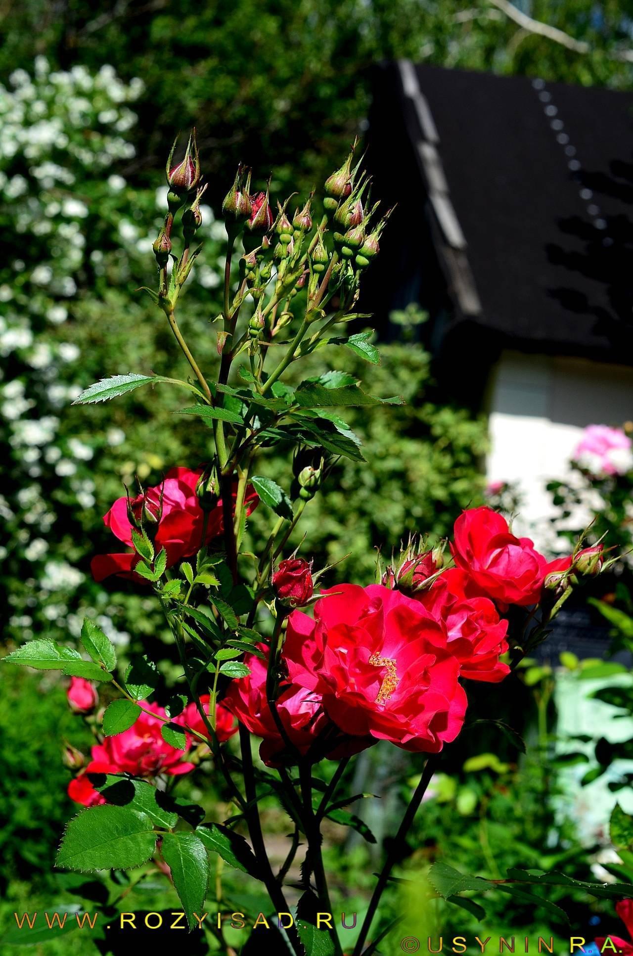 Роза аделаида худлес парковая канадская. аделаида худлесс (adelaide hoodless) — описание розы. преимущества и недостатки аделаиды худлесс