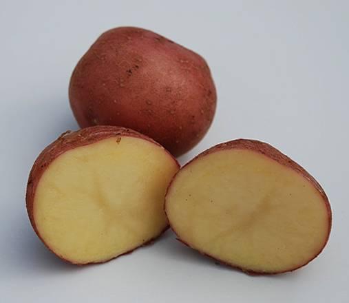 Картофель ред леди: описание и характеристика, отзывы