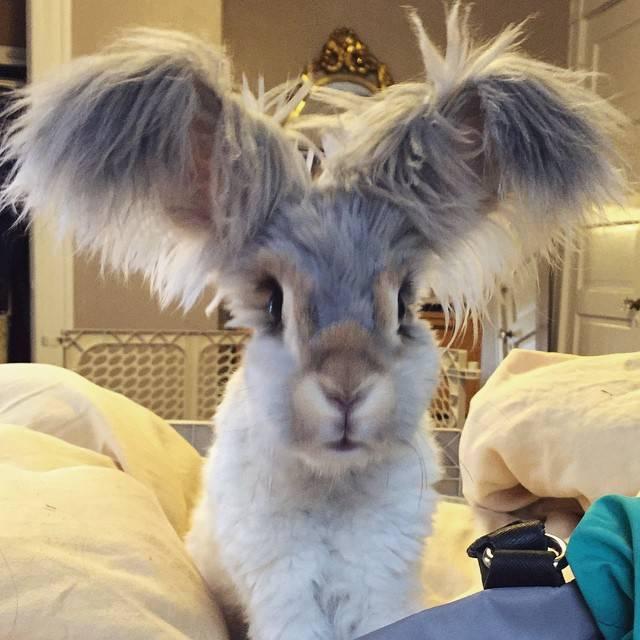 Особенности выращивания и содержания декоративного ангорского кролика
