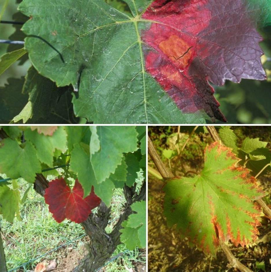 Причины покраснения листьев на винограднике