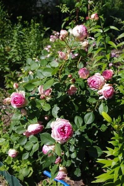 Роза ферст леди: описание и фото сорта, история возникновения, цветение и использование в ландшафтном дизайне, уход и размножение, болезни и вредители