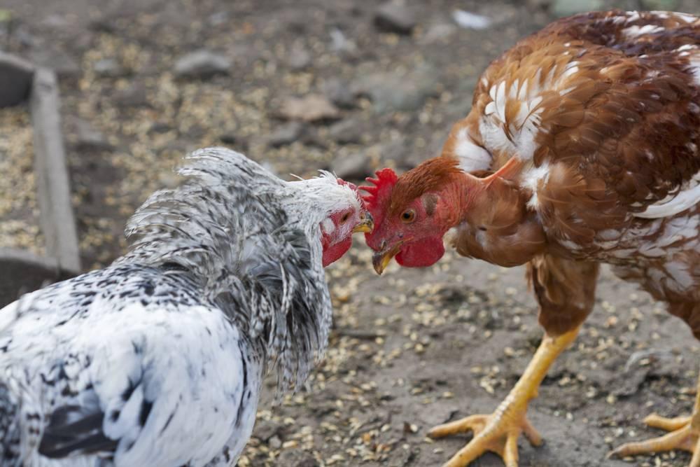 Почему куры клюют друг друга до крови, причины и решение