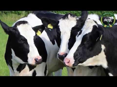 Голштинская корова: особенности разведения и ухода