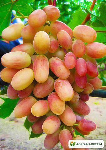 Виноград преображение: характеристики сорта, фото, отзывы, инструкция по посадке и уходу