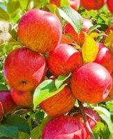 Селекция яблони на урале. д. д. тележинский. лекция в моип