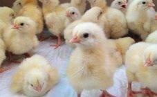 Куры чихают и хрипят: мой опыт лечения хрипов у кур