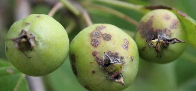 Болезни и вредители груш: фото, описание признаков, способы лечения, обработка деревьев от насекомых и заболеваний