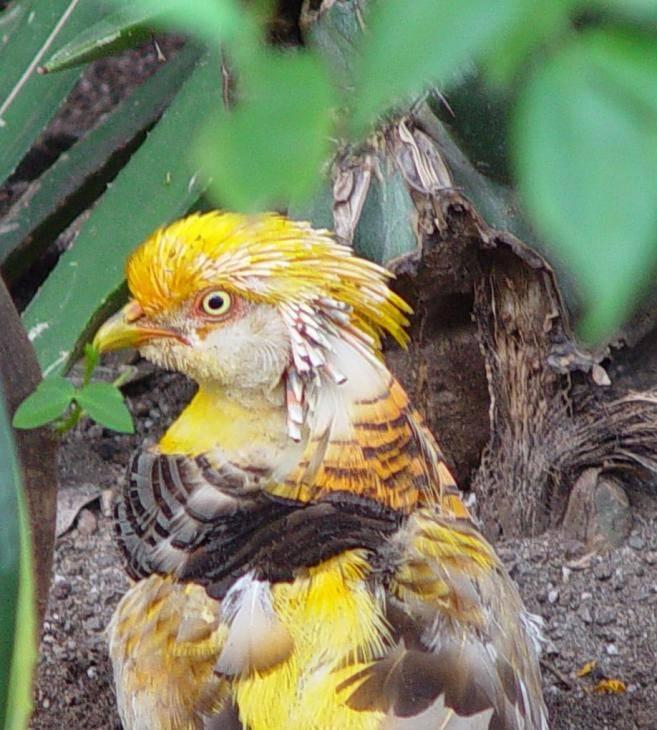 Банкивская джунглевая курица — википедия с видео // wiki 2