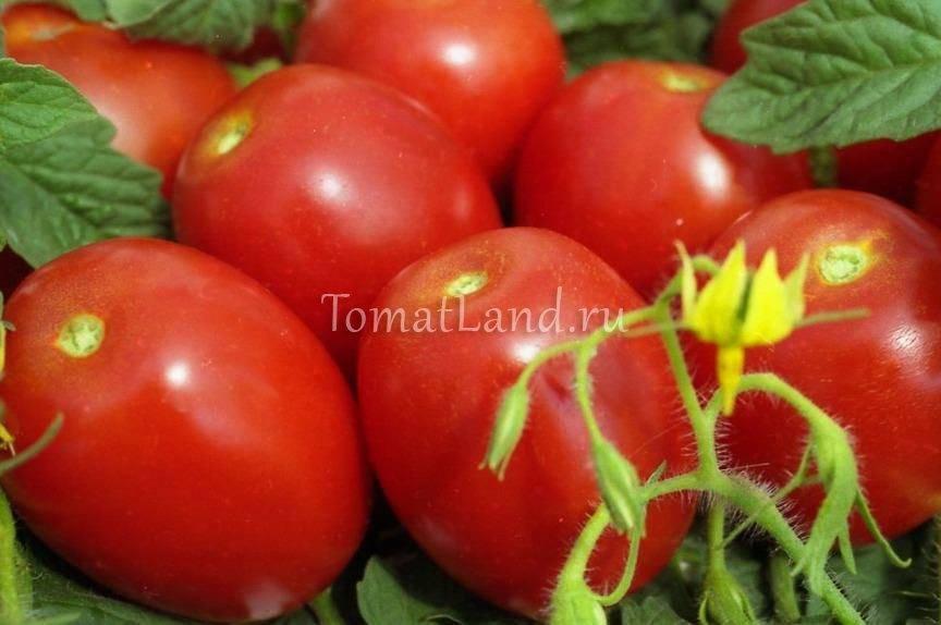 Томат ирина: отзывы, фото, урожайность, описание и характеристика   tomatland.ru