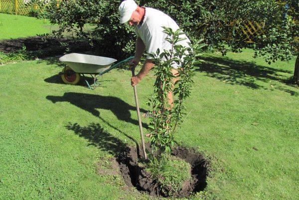О посадке груши: как правильно посадить весной, пошаговое руководство