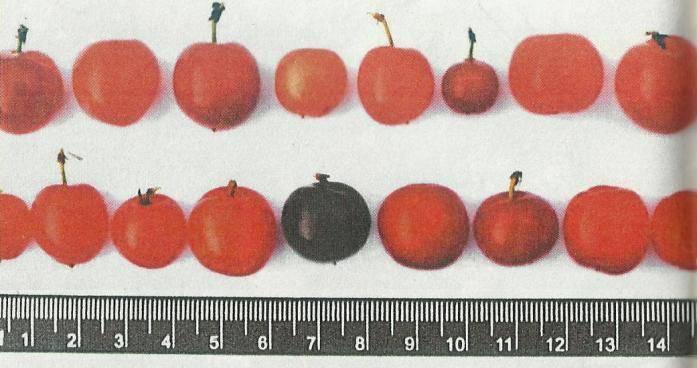 Фото и описание сортов войлочной вишни