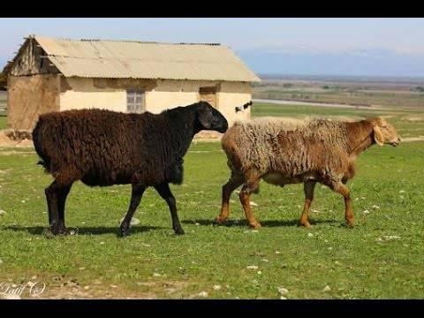 Гиссарская порода овец: особенности и содержание