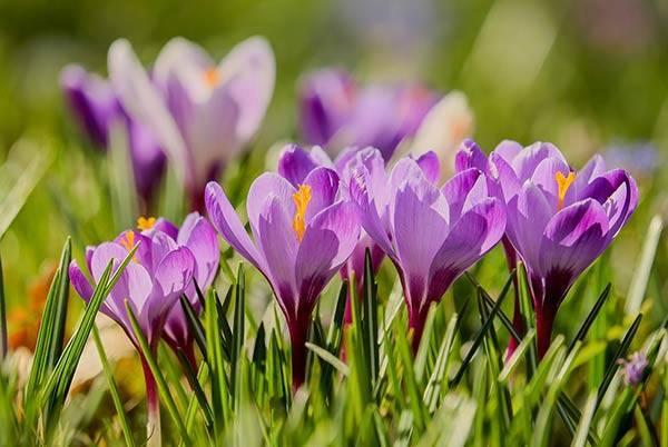 Как выращивать крокусы в открытом грунте: советы садоводов