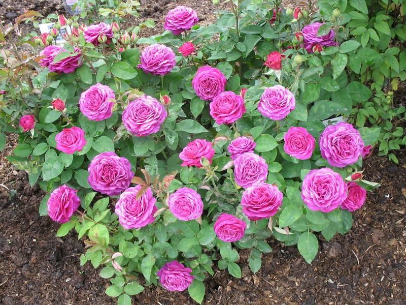 Роза хайди клум энциклопедия роз галерея