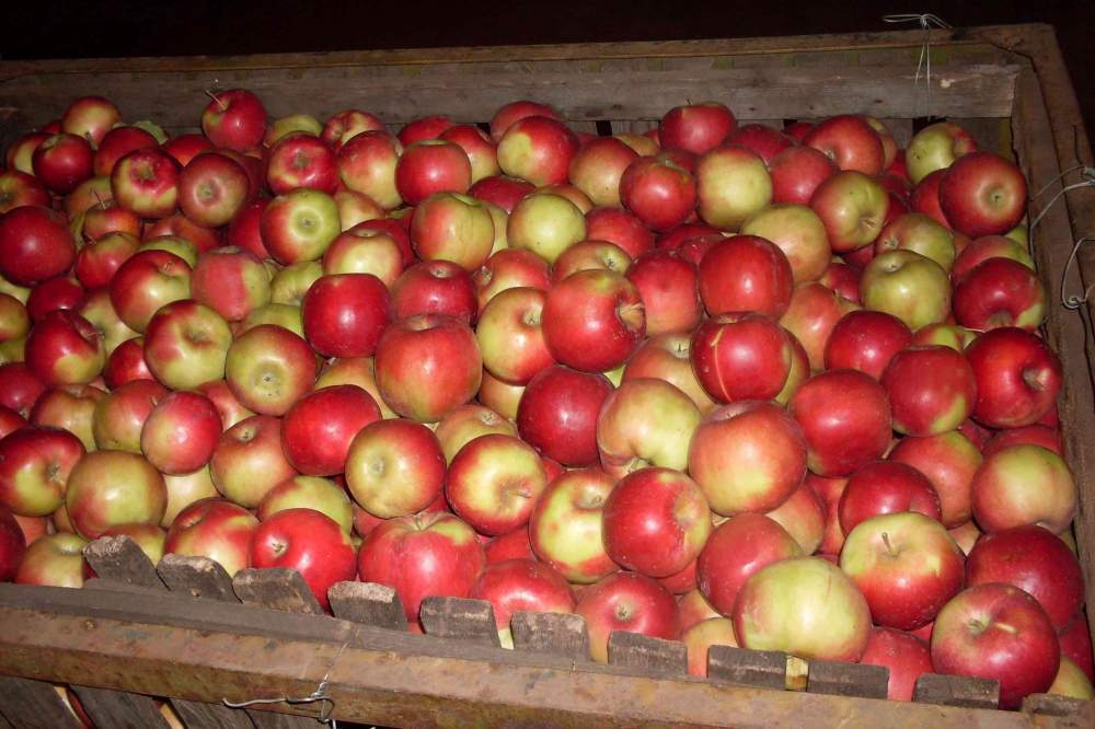 Описание и характеристика сорта яблони айдаред