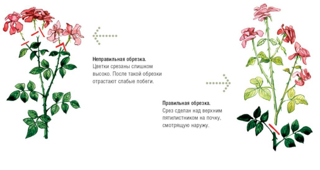 Как ухаживать за розой в горшке в домашних условиях зимой, чтобы вырастить здоровый куст: секреты ухода за комнатным цветком после покупки и по прошествии времени