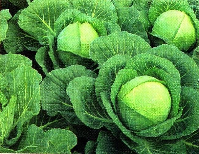 Как правильно ухаживать и выращивать июньскую капусту в грунте
