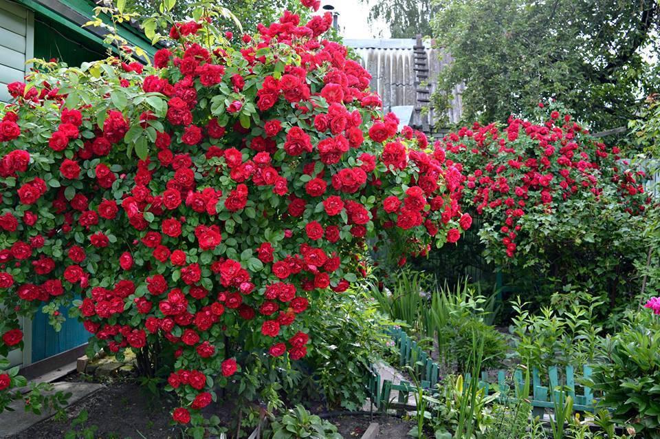 Плетистая роза фламентанц — фото и описание