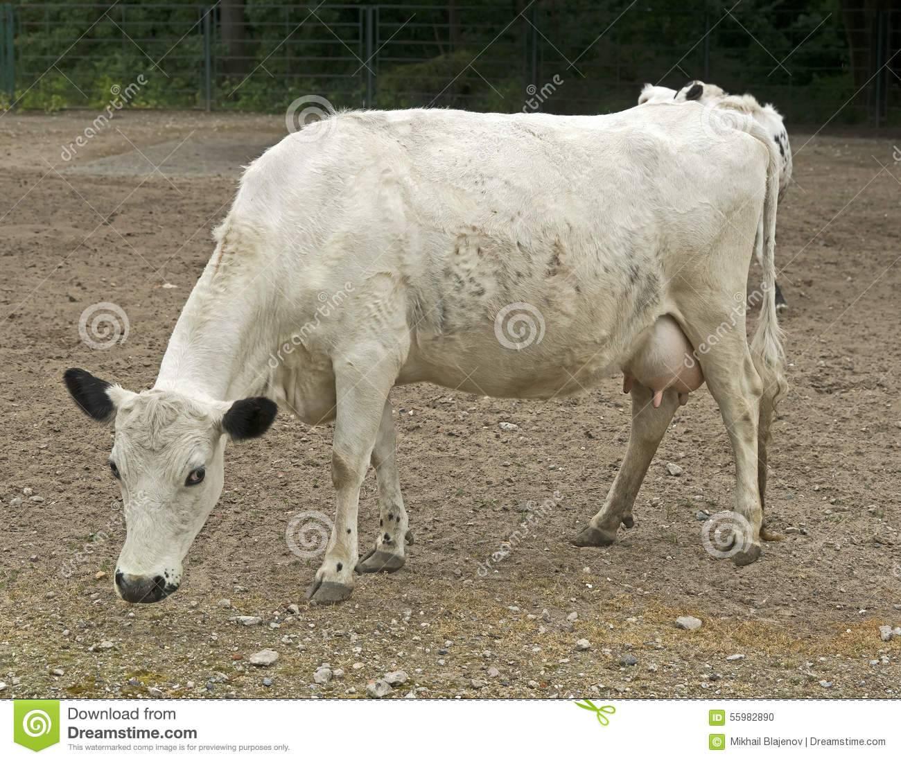 Плюшевая корова из айовы: характеристика и описание породы