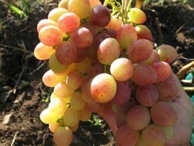 Виноград тасон: описание сорта, фото, характеристики и болезни