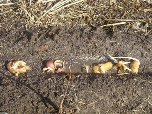 Подкормка смородины весной для хорошего урожая