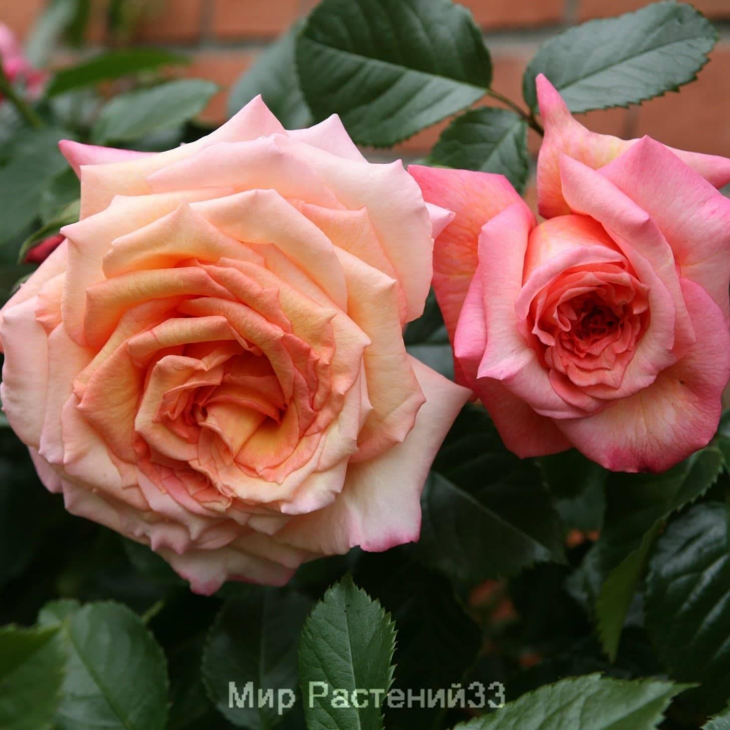 О розе эксцельза (excelsa): описание и характеристики сорта плетистой розы