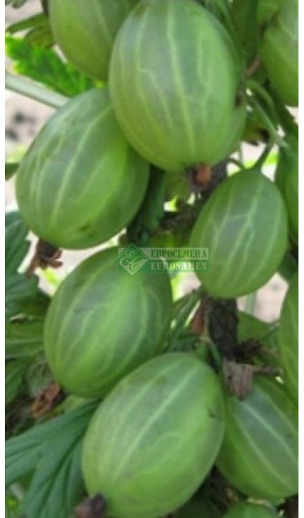 Крыжовник уральский бесшипный: сорта, особенности выращивания