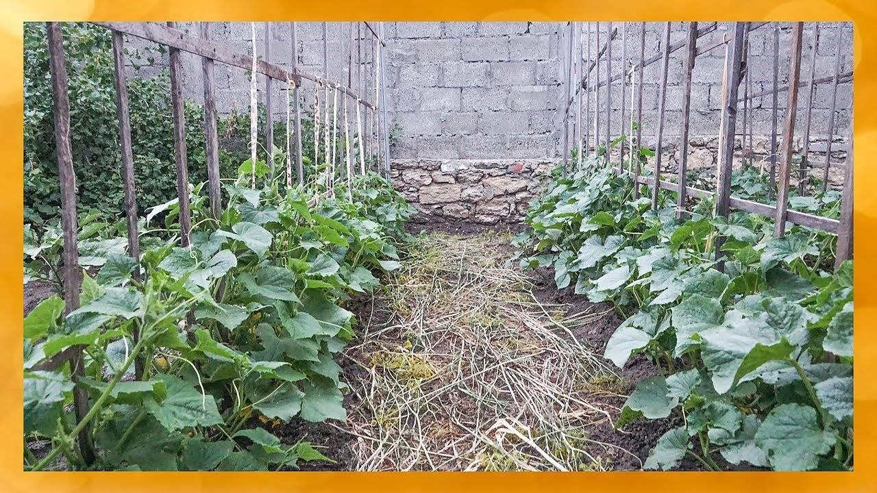 Все секреты для большого урожая огурцов: что делать от посева до сбора плодов