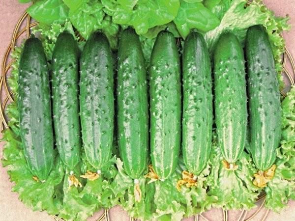 Самые урожайные огурцы для открытого грунта - как выбрать скороспелые, среднего и позднего созревания