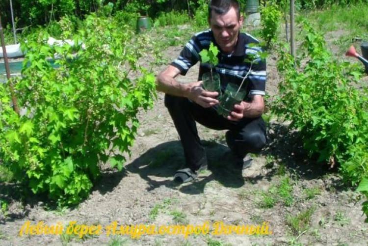 Правильный выбор саженцев смородины и их посадка осенью и весной