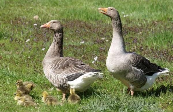 Холмогорские гуси: описание породы и выращивание