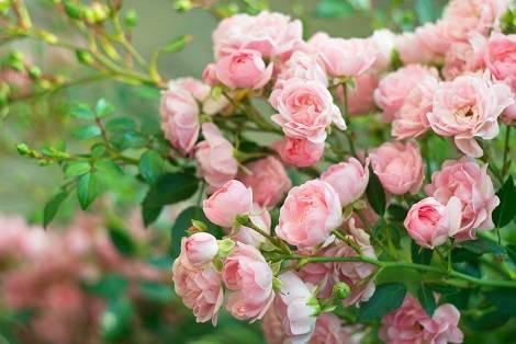 Когда пересаживать розы на другое место? основные правила и советы