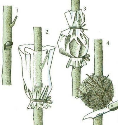 Способы размножения яблони: нюансы проведения, плюсы и минусы каждого способа