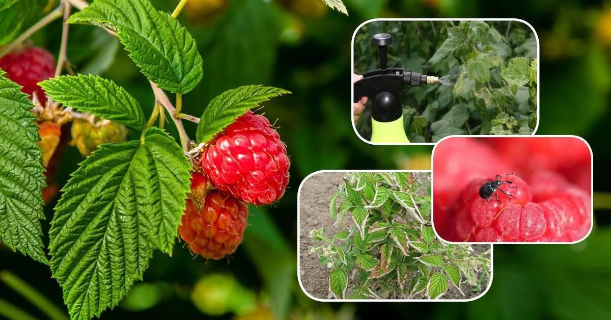 Защита малины от болезней и вредителей: схемы обработок в таблицах