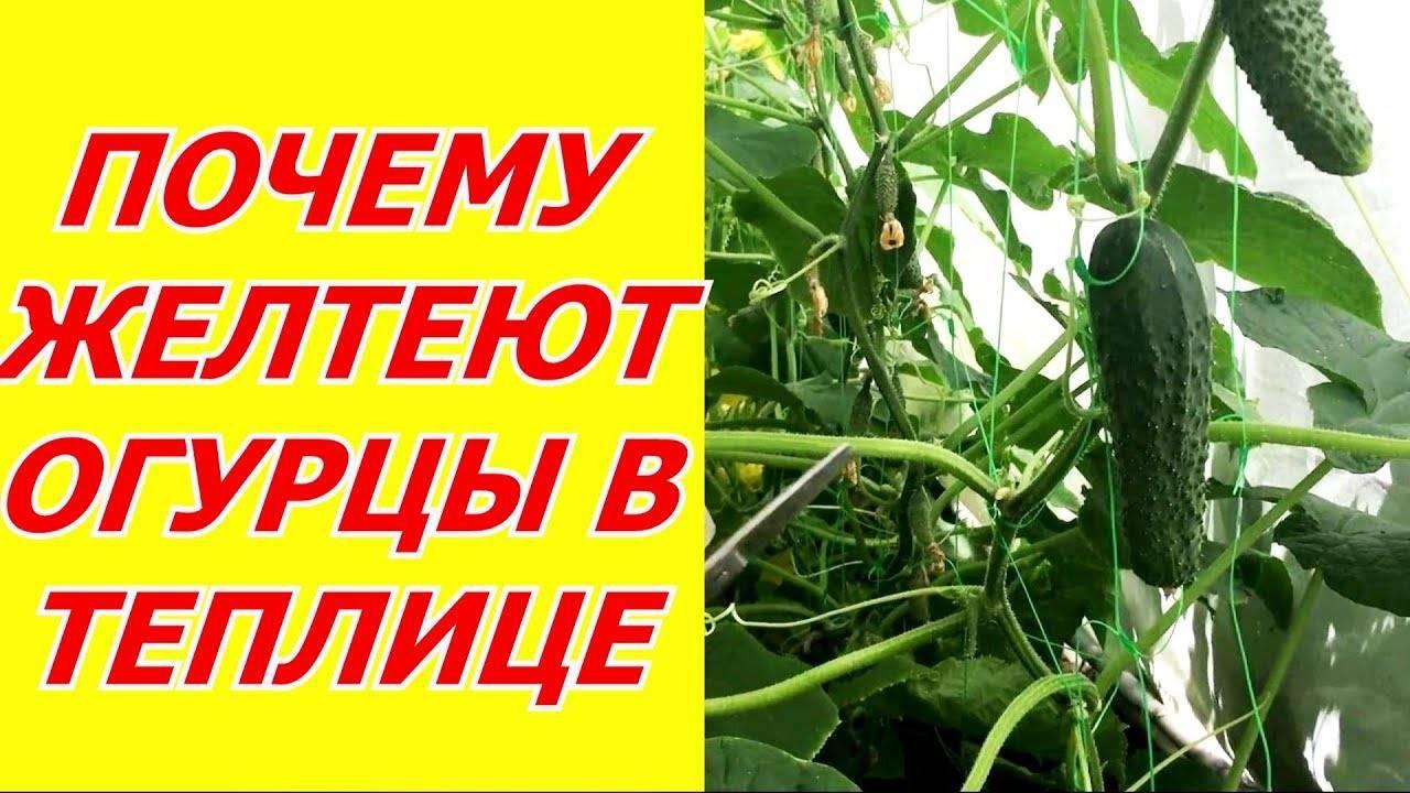 Почему листья и плоды тепличного огурца желтеют, засыхают, опадают
